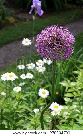 Large Ball-like Flower Covered In Dainty Purple Flowers And Tucked Into Bed Of Cheerful Daisies And
