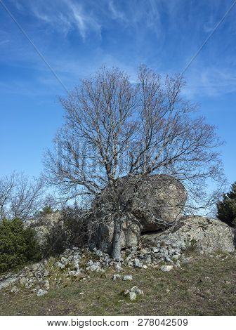 Montpellier Maple, Acer Monspessulanum, In Winter. Photo Taken In La Cabrera Range, Guadarrama Mount