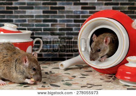 Close-up Two Rats (rattus Norvegicus) On Countertop At Kitchen.  One Rat Eats, Second Rat Looks At H