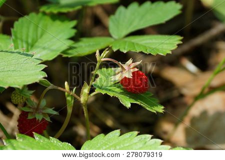 Red Strawberry On Wild Bush With Green Leaves