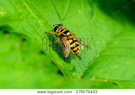 A Large Striped Fly Sits On A Green Leaf