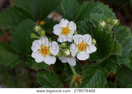 Small White Flowers Of Strawberry On A Bush With Green Leaves