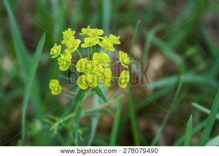 Small Yellow Wild Flowers On A Green Stalk Among Grass