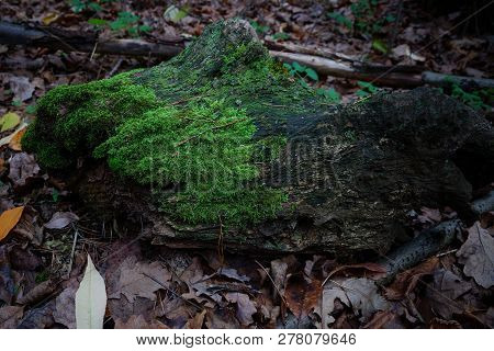 An Old Gray Piece Of Log Overgrown With Green Moss Lies On Dry Brown Leaves