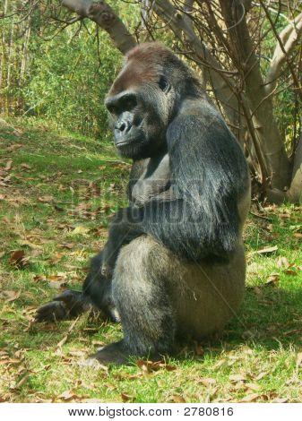 Sitting Gorilla