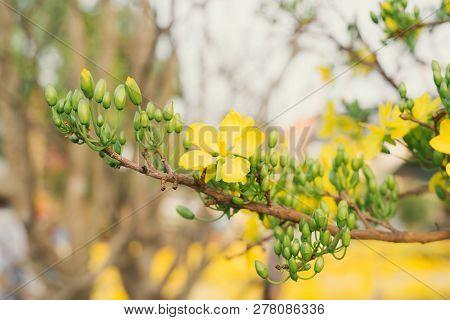 Ochna Integerrima Flower Popularly  Or Yellow Mai. Ochna Integerrima Is Symbol Of Vietnamese Traditi