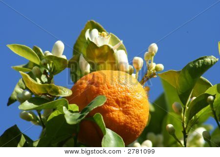 Orange and blossoms against blue sky