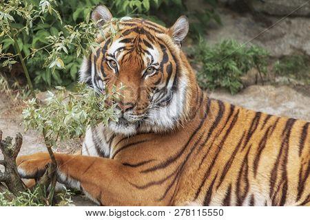 Sumatran Tiger, Panthera Tigris Sumatrae, 'small' Big Cat Lies. Origin Is Indonesian Island Of Sumat
