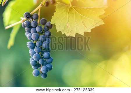 Close-up Picture Of Vine Branch With Green Leaves And Isolated Dark Blue Ripe Grape Cluster Lit By B
