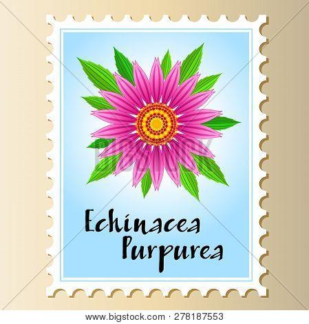 Echinacea Purpurea Vector Flower On A Postage Stamp. Vector Illustration Of Echinacea Purpurea Bloom