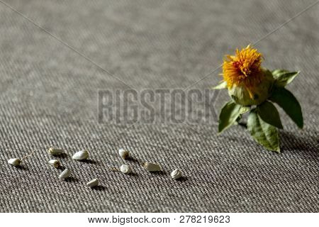 Safflower Dyeing: Seeds And Flower Of Yellow Color Against The Background Of Gray Fabric. Shallow De