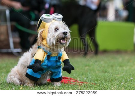 Atlanta, Ga - August 18:  A Cute Dog Wears A Minion Costume From The Movie Despicable Me At Doggy Co