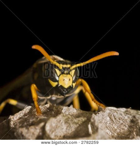 Paper Wasp Queen On Its Nest