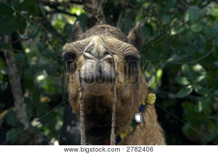 Nicely decorated camel closely looking straight at you poster