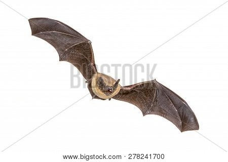 Flying Pipistrelle Bat (pipistrellus Pipistrellus) Action Shot Of Hunting Animal Isolated On White B