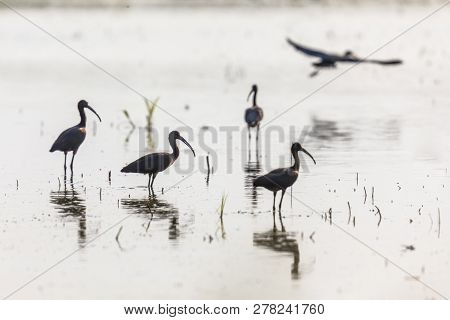 Glossy ibis (Plegadis falcinellus) group foraging in shallow water in backlight condition in Camarque nature reserve, Provence Alpes Cote d'Azur, France poster