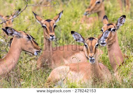 Impala (aepyceros Melampus) Female Group Resting And Ruminating In Long Green Savanna Grass In Kruge