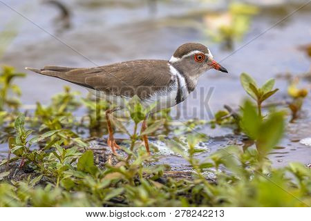 Three banded plover (Charadrius tricollaris) wading on shore of waterhole in Kruger national park South Africa poster