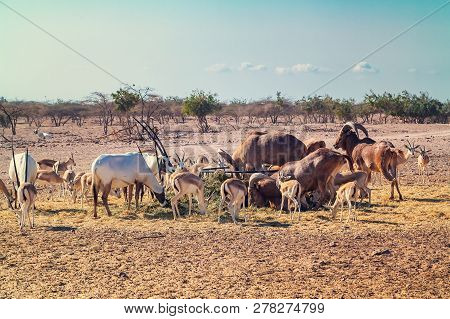 Group of antelopes and mountain sheep in a safari park on the island of Sir Bani Yas, United Arab Emirates poster