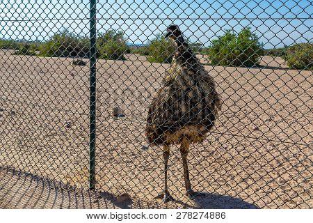 Big Dromaius Novaehollandiae Emu Bird In Safari Park Posing For Tourists