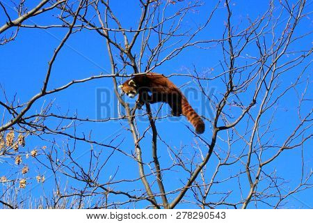 A Red Panda Making His Way On The Top Of The Tree On Some Very  Small Branches.
