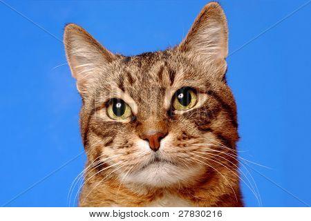 Katze auf dunkel blauem Hintergrund