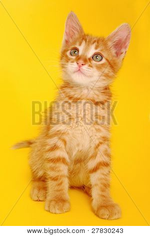 Red kitten on a yellow background