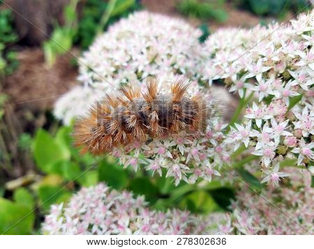 Pyrrharctia Isabella, The Isabella Tiger Moth, Banded Woolly Bear Or Woollybear Or Woolly Worm Cater