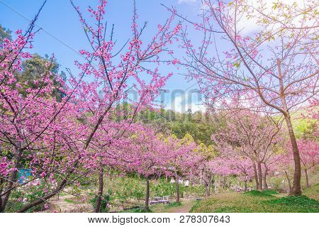 Pink Blossoms On The Branch During Spring Blooming At Doi Ang Khang. Branch With Pink Sakura Blossom