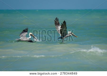 Two Pelicans Flying Above The Carribean Sea In Mexico, Exotic Vacation, Birdwatchers Paradise, Wildl
