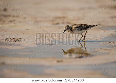 Sandpiper Bird In Las Coloradas In Mexico, Reflection Of Sea Bird, Birdwatching In Mexico