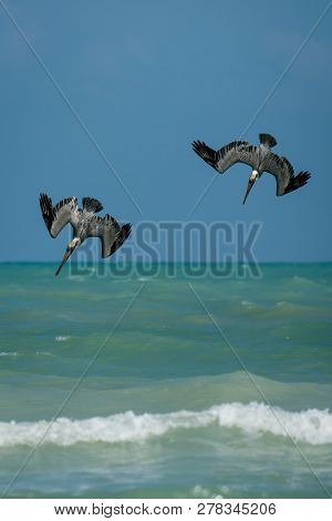 Two Pelicans Flying Quickly Down Towards The Sea Surface, Beatufil Birdwatching In Vacation In Mexic