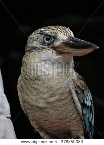 Close Up Of A Blue Winged Kookaburra