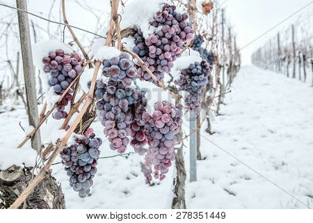 Ice Wine. Wine Red Grapes For Ice Wine In Winter Condition And Snow