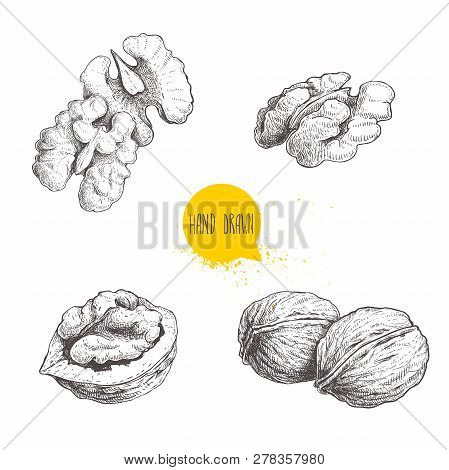 Hand Drawn Sketch Style Walnuts Set.  Single Whole, Half And Walnut Seed. Eco Healthy Food Vector Il