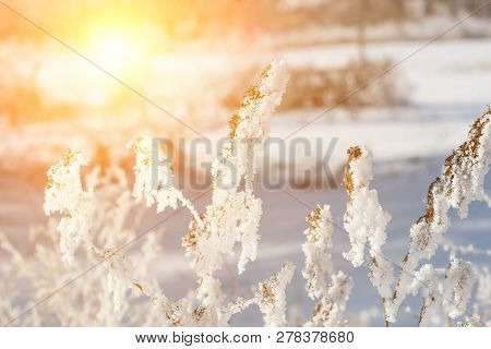 Beautiful Winter Landscape With Snow Plant, Trees And Sunrise. Winterly Morning Of A New Day. Purple