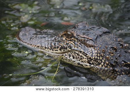 Fantastic Deadly Alligator Up Close And Personal In The Swamp.