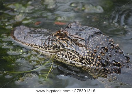 Floating Alligator In A Swamp In New Orleans Louisiana.