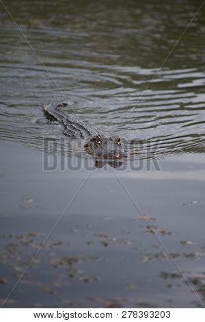 Dangerous Alligator Swimming Through The Swamp Of Barataria Preserve, Louisiana.