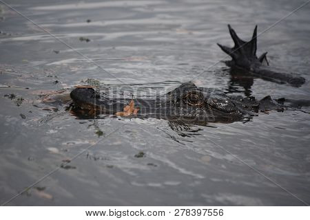 Small Alligator Stalking Prey In The Bayou Of Louisiana.