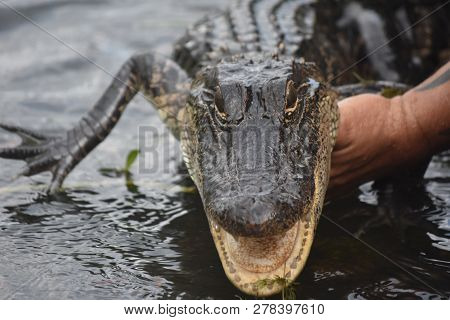 Dangerous Angry Alligator Being Held Out Of The Water By A Cajun Man.