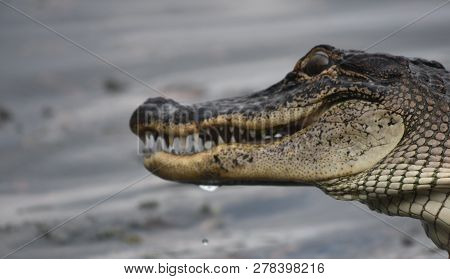 Wild American Alligator Profile In The Swamps Of Louisiana.