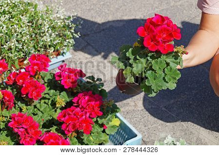Spring Shopping. A Woman Choosing Pelargonium Flowers Before Buying. Commonly Known As Geraniums, Pe