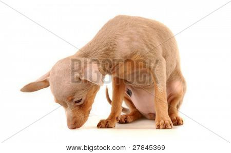 Toi doggy on a white background poster