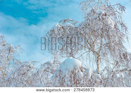 White Birch Tree In Snow, Beautiful Idyllic Winter Season Scenery With Frosted Treetop On Bright Sun