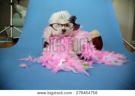 Behind the Scenes Dog Photo Shoot. Beautiful Maltese Dog with a Pink and White feather boa in a dog bed with a blue seamless background. Valentines Day Dog Photo Shoot.