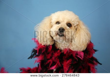 Dog Photo Shoot. Beautiful Bichon Frise Dog with a Red and Black Feather Boa with a blue seamless background. Valentines Day Dog Photo Shoot.