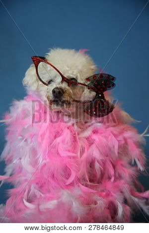OLD Dog Photo Shoot. Beautiful 14 Year Old Blind and Deaf Bichon - Poodle Dog with a Pink and White feather boa with a blue seamless background. Valentines Day Dog Photo Shoot. Blind and Deaf Dog.