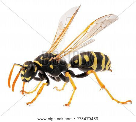 Macro Shot Of Wasp Isolated On White Background. Close Up Of Wasp Insect