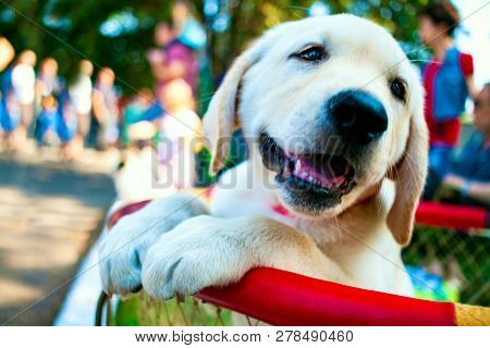 Yellow Labrador Puppy . Boys Playing With Labrador Puppies . Entertainment For Children